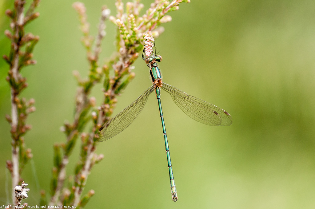 Common Emerald Damselfly - immature male