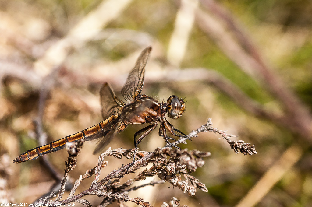 Keeled Skimmer - immature female