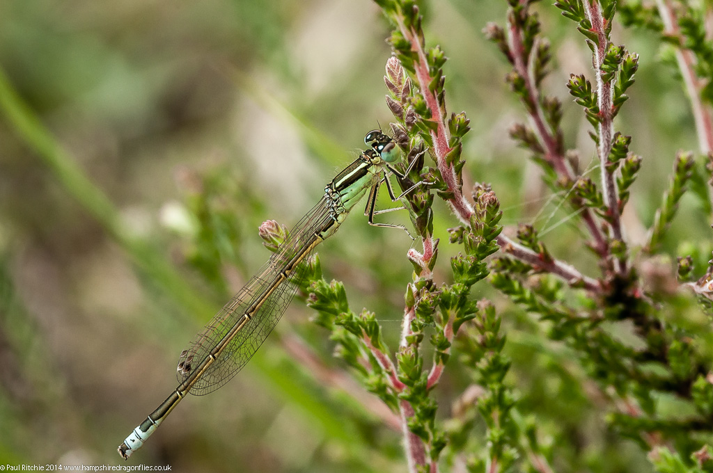 Scarce Blue-tailed Damselfly - immature male