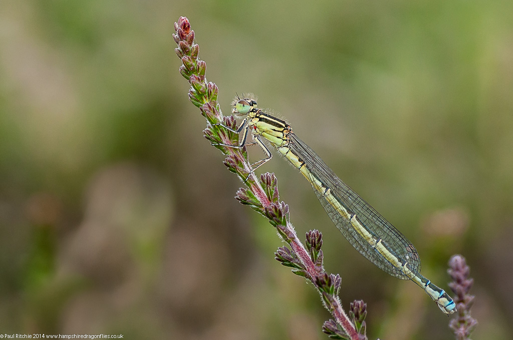 Southern Damslfly - female (green from)
