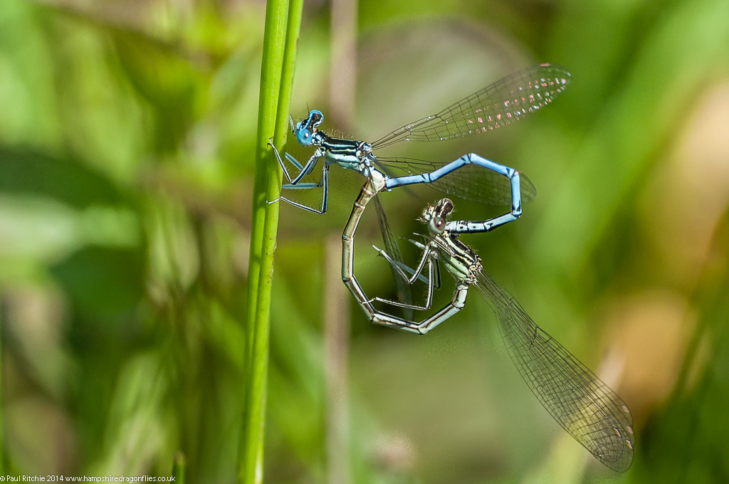 White-legged Damselflies - mating pair