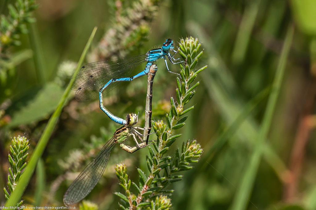 Southern Damselflies - pair in cop