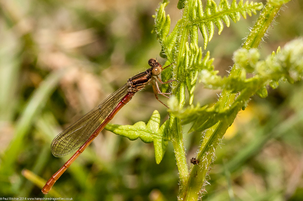 Small Red Damselfly - immature male