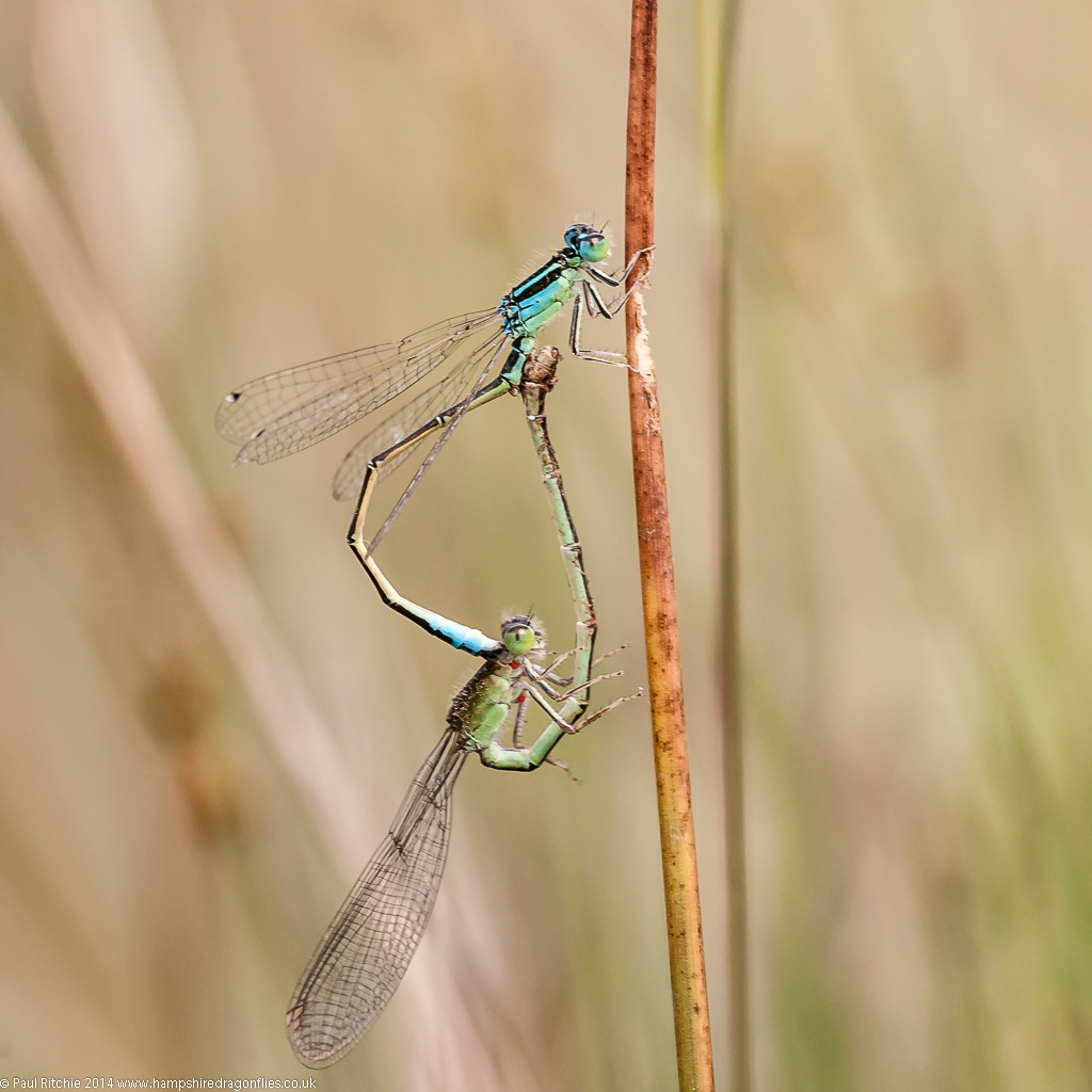 Scarce Blue-tailed Damselfly - pair in cop