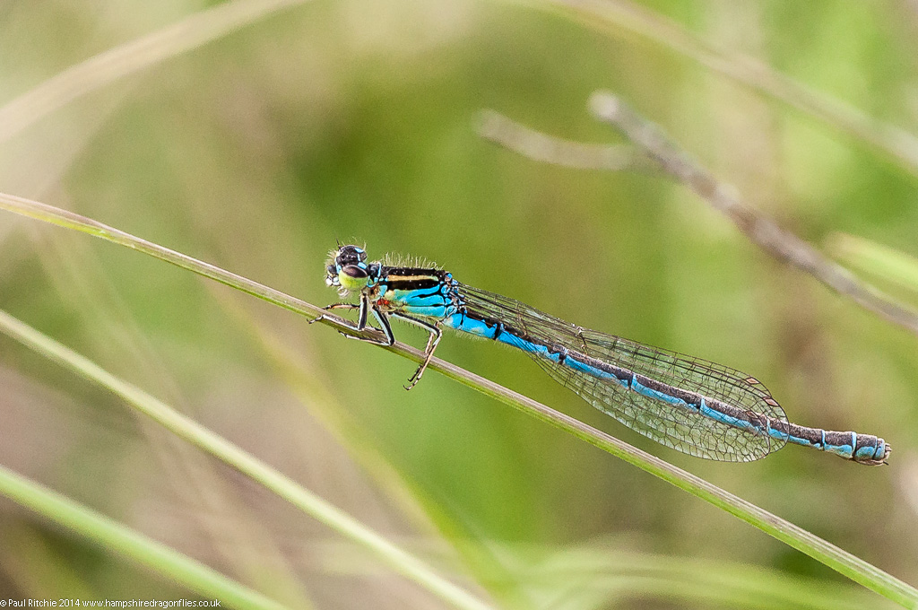 Southern Damselfly - female (blue form)