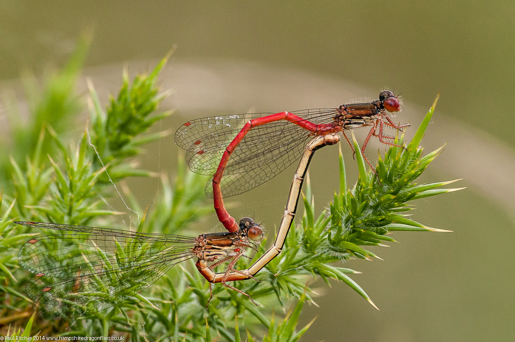 Small Red Damselfly - pair in cop