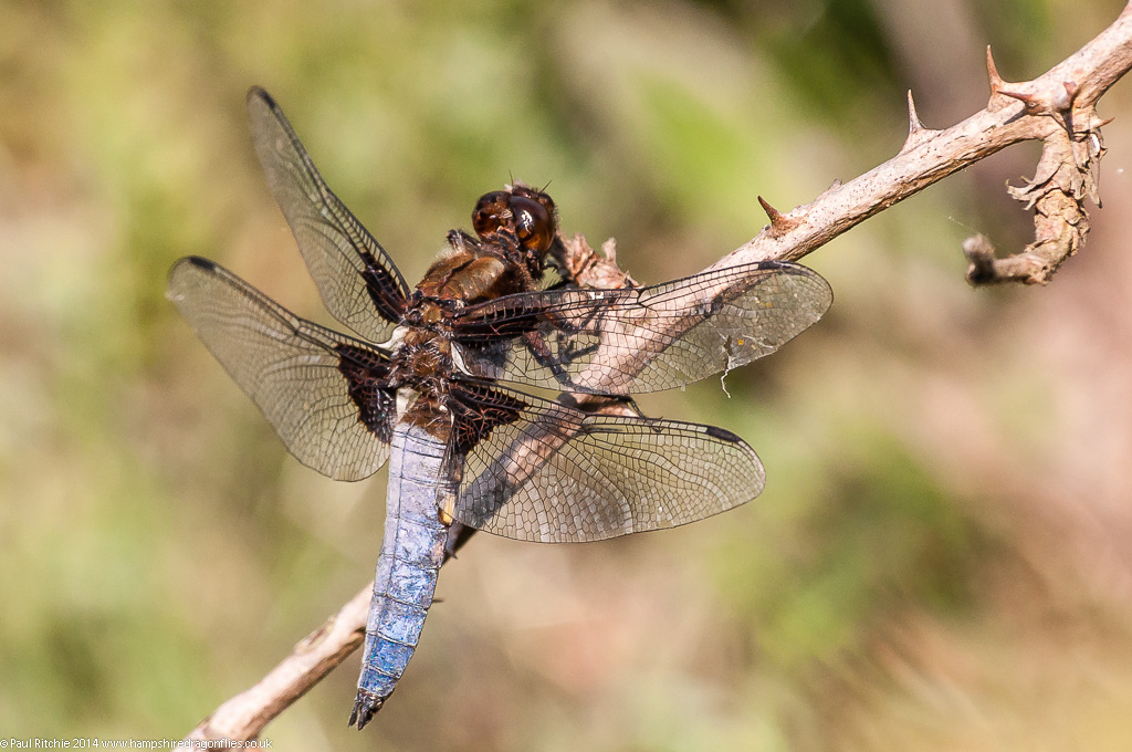 Broad-bodied Chaser - male
