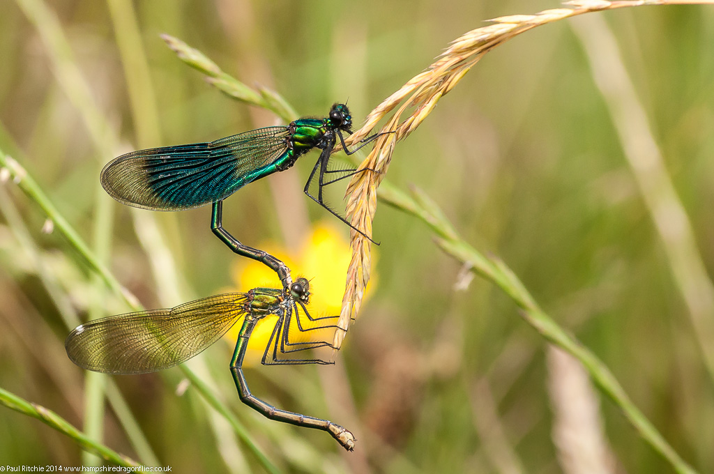 Banded Demoiselles - pair in tandem