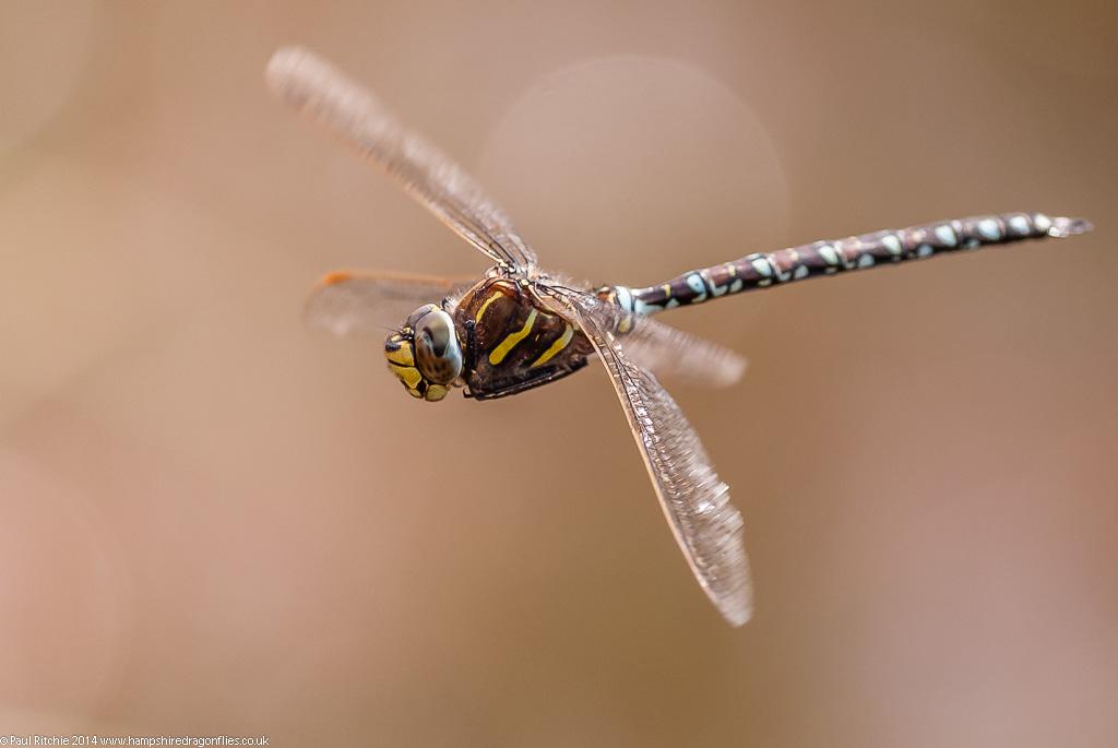 Moorland (Common) Hawker - male