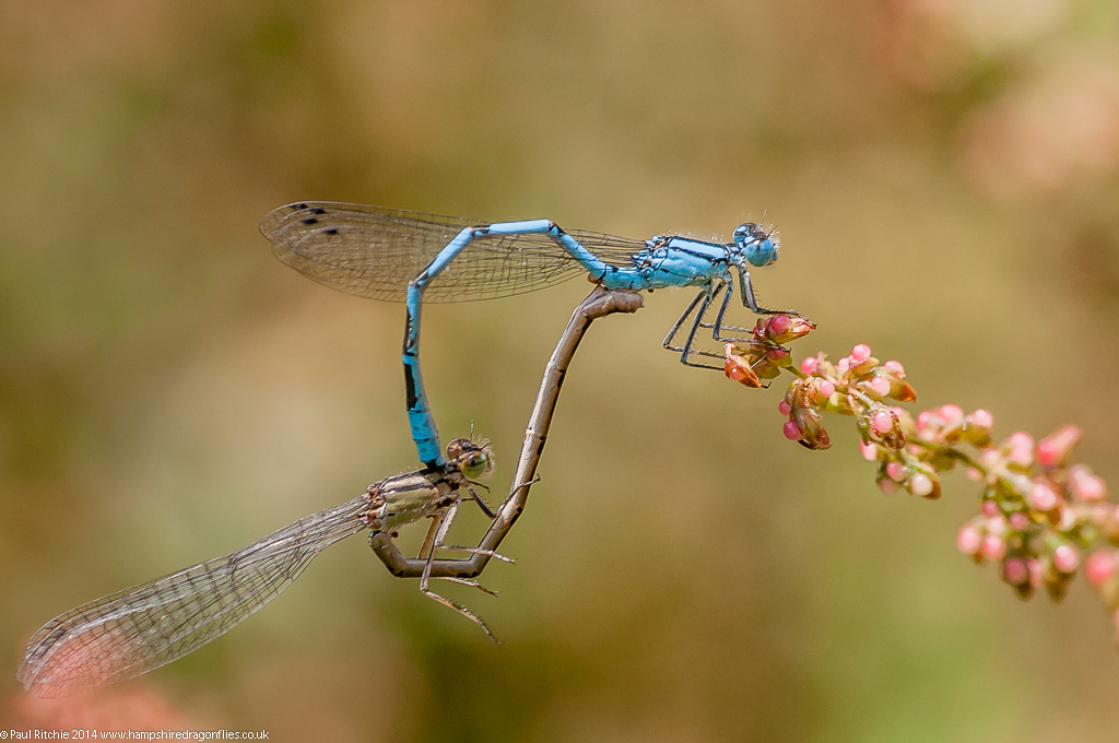 Common Blue Damselflies - mating pair