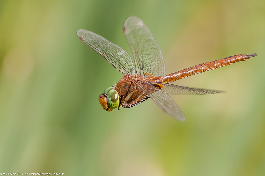 Green-eyed (Norfolk) Hawker - male
