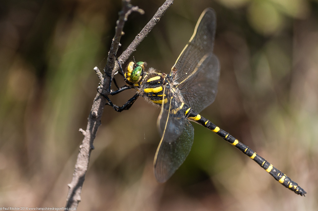 Golden-ringed Dragonfly - female