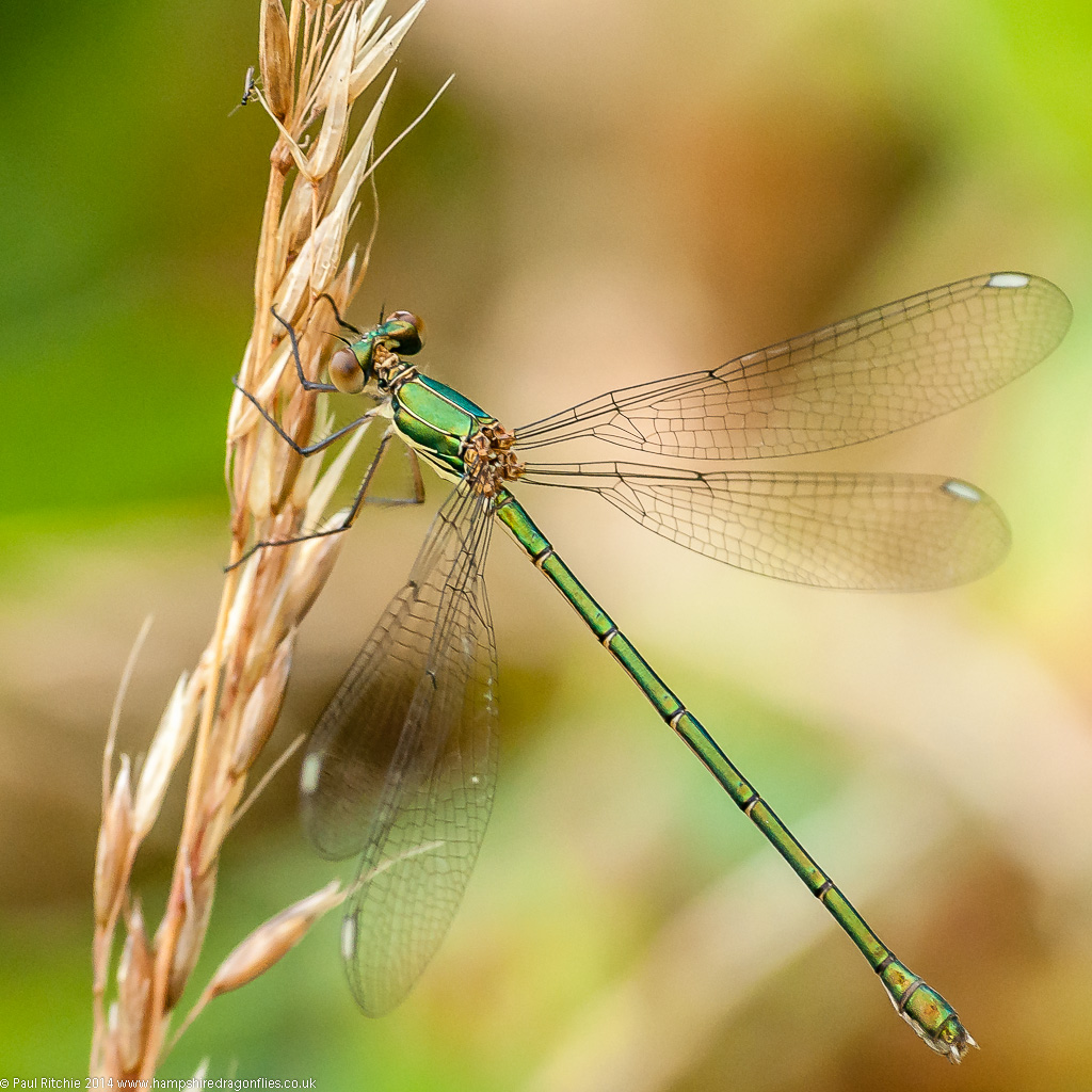 Willow Emerald - female