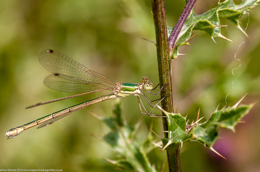 Southern Emerald - female