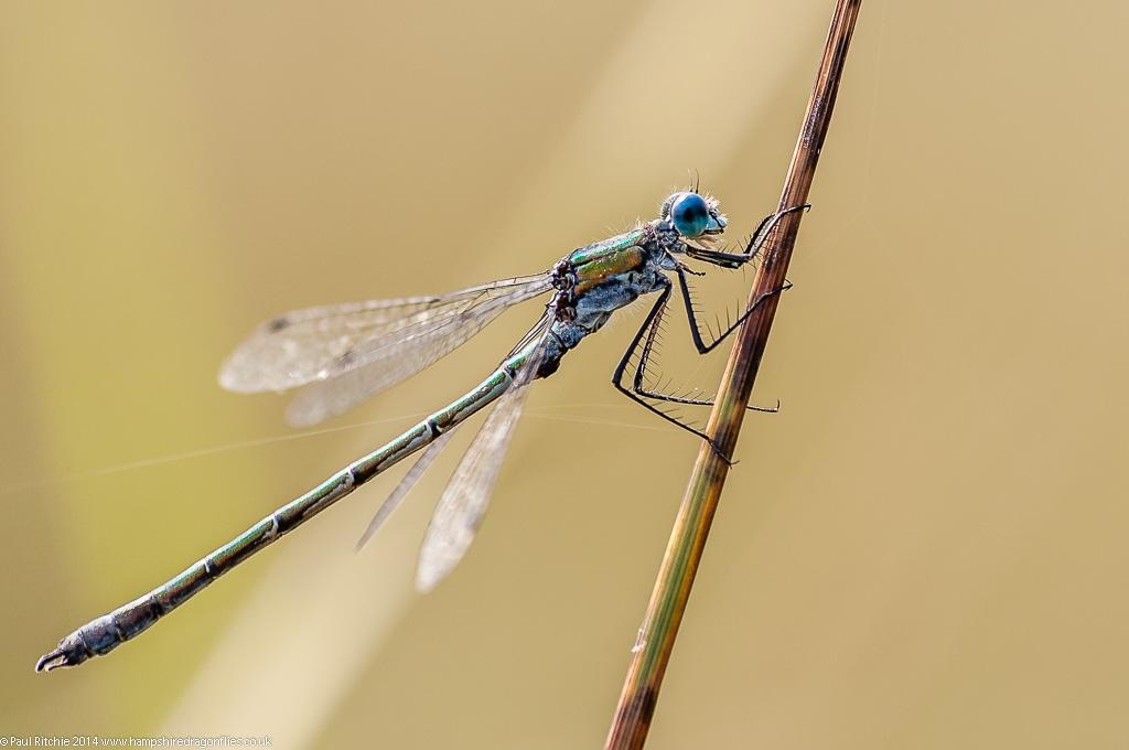 Scarce Emerald - male