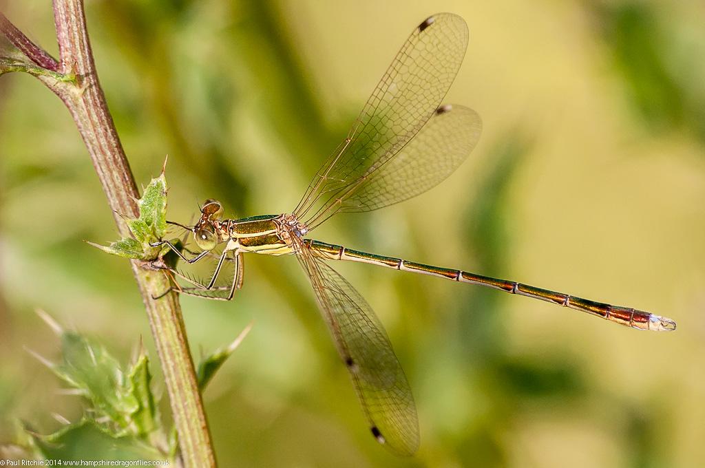 Southern Emerald - male