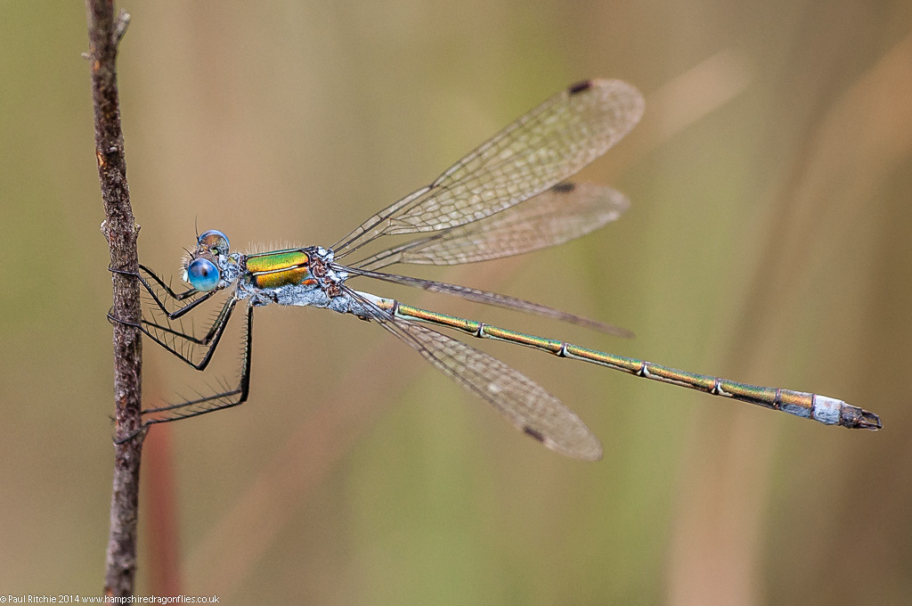 Common Emerald Damselfly - male