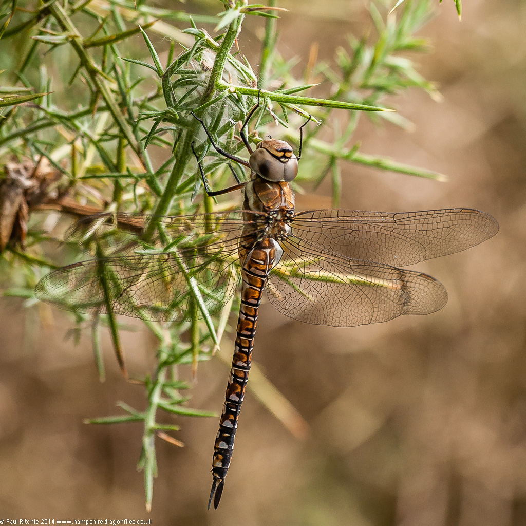 Migrant Hawker - Immature female