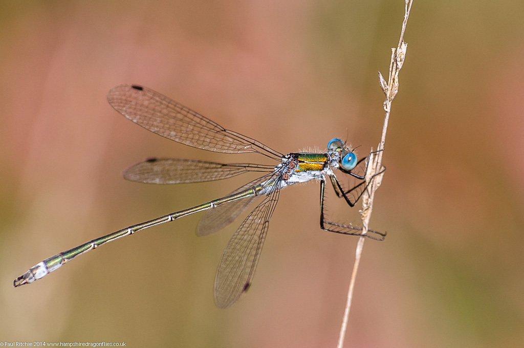 Common Emerald - male