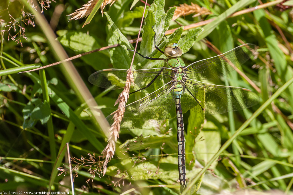 Emperor - immature female