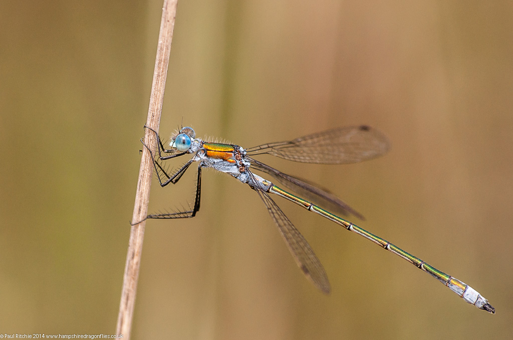 (Common) Emerald Damselfly - male