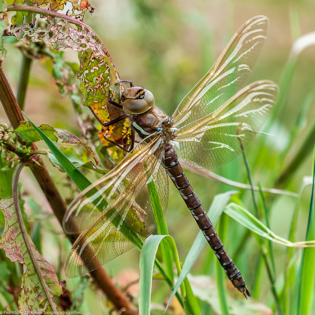 Brown Hawker - female