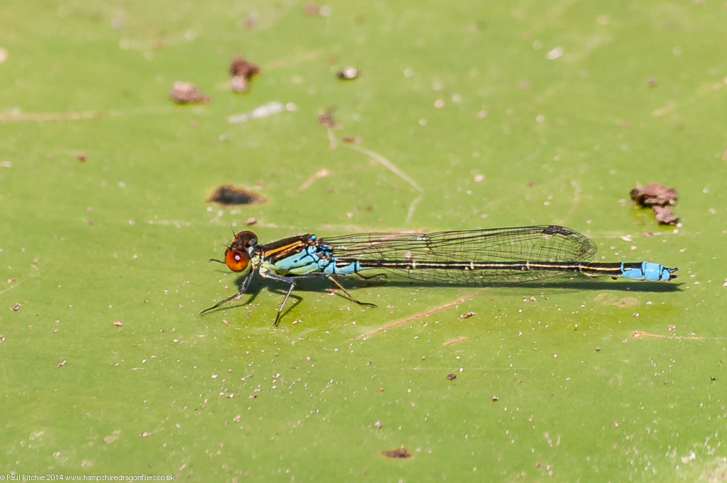 Small Red-eyed Damselfly - male