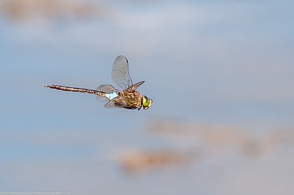 Lesser Emperor (Anax parthenope) - male