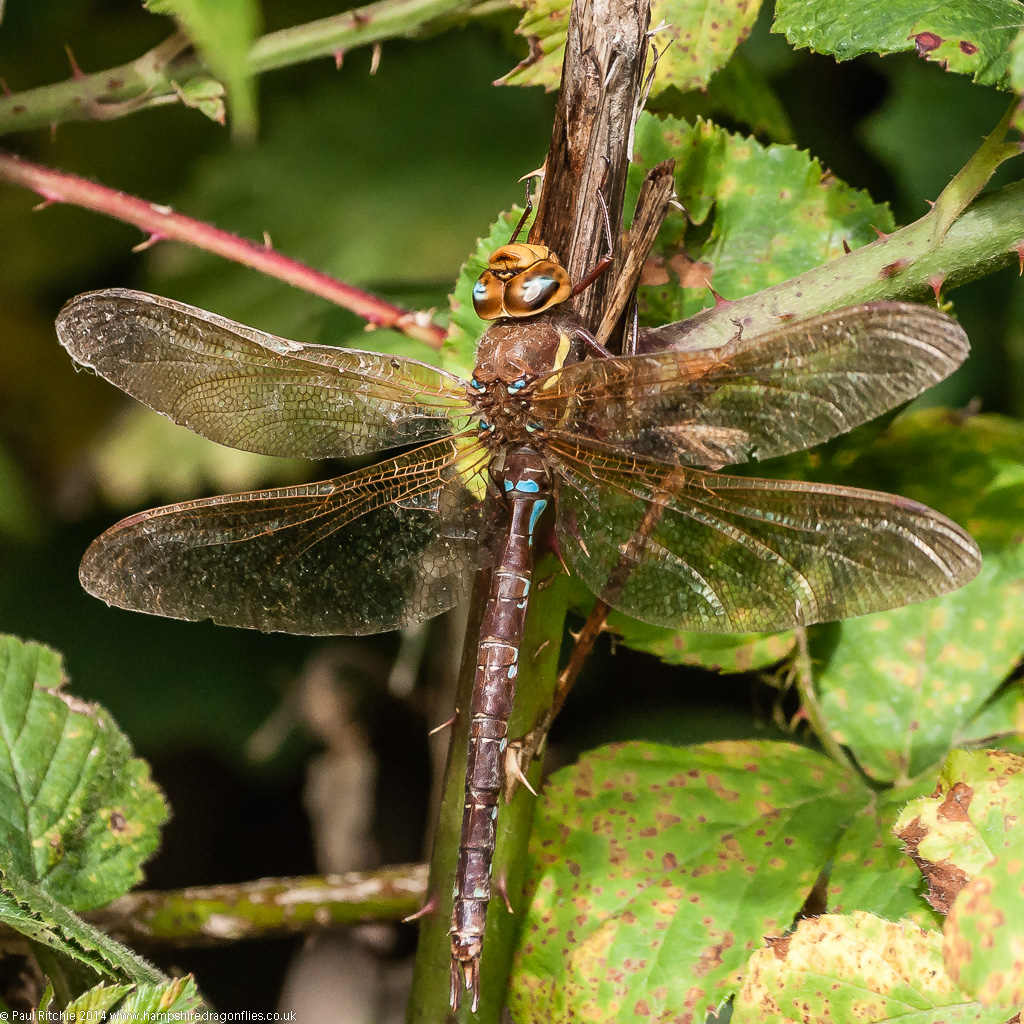 Brown Hawker - male