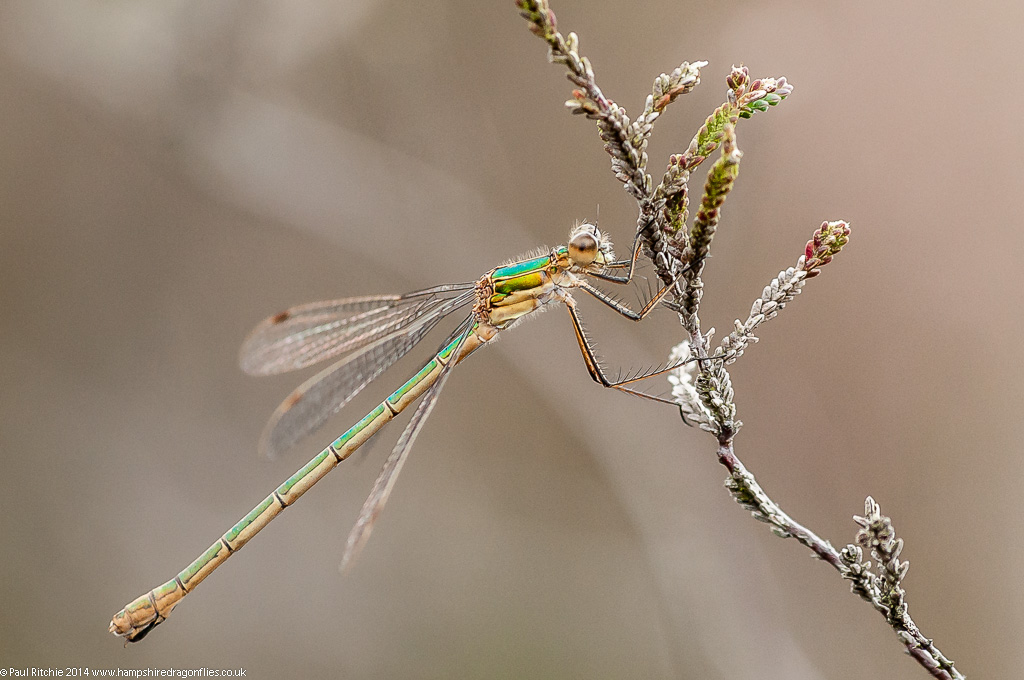 (Common) Emerald Damselfly - female