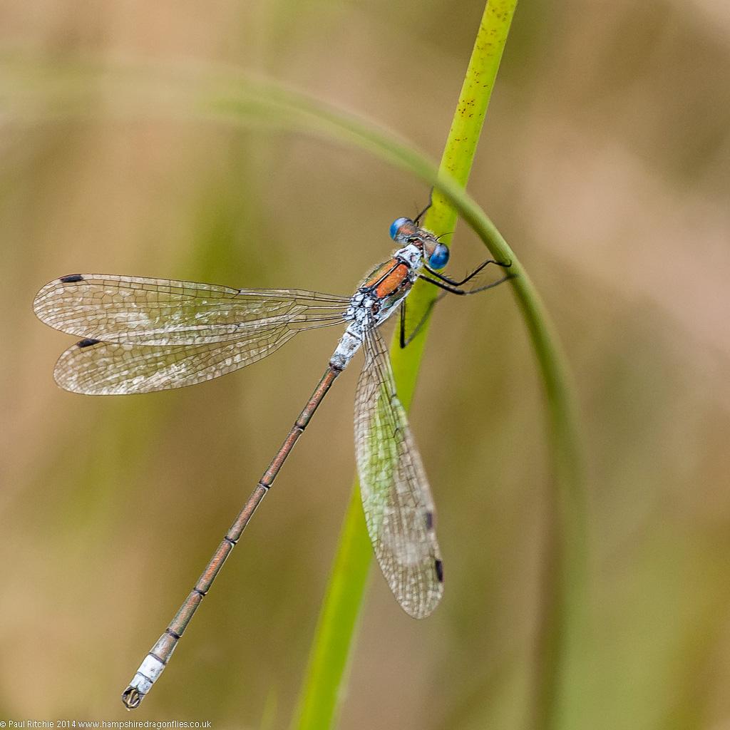 Emerald Damselfly - male