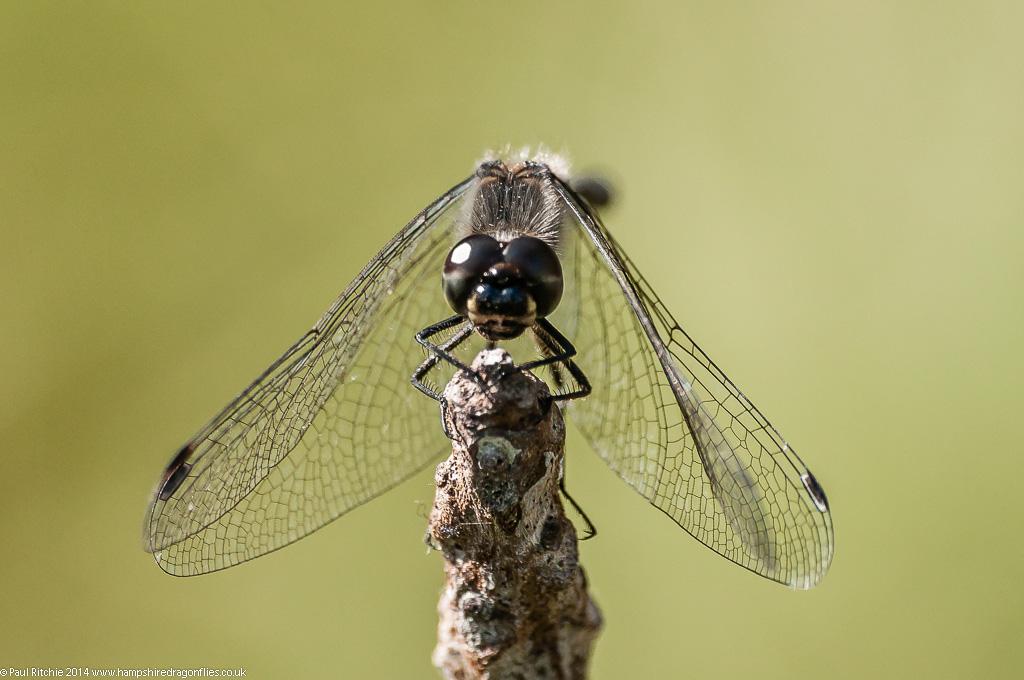 Black Darter - male