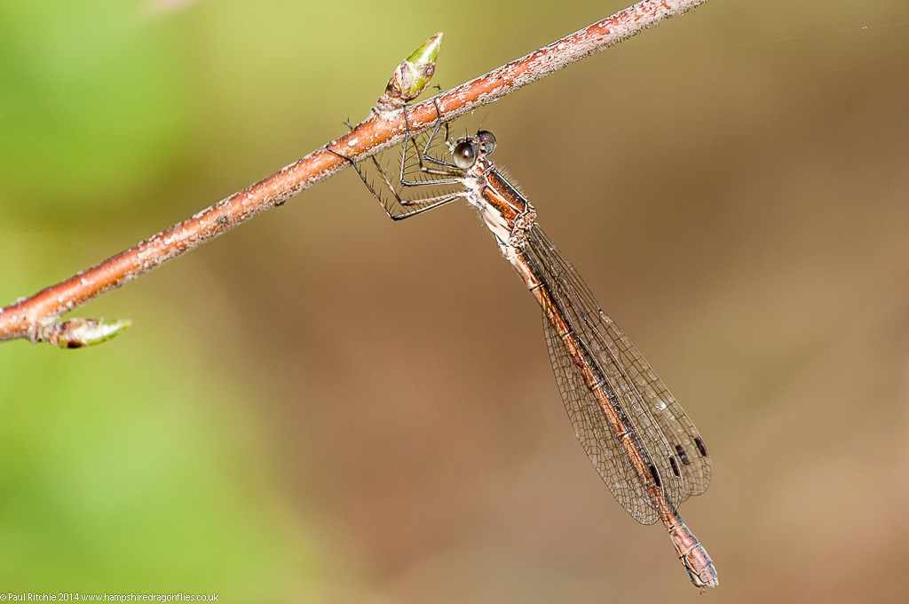 (Common) Emerald Damselfly - female