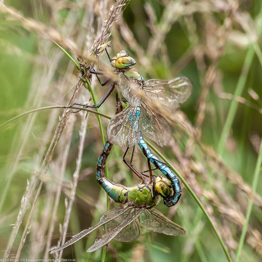 Emperors - mating pair