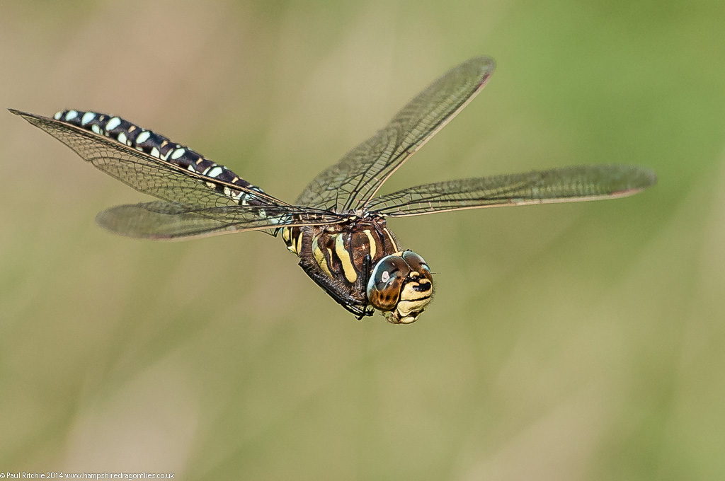 Moorland (Common) Hawker - male