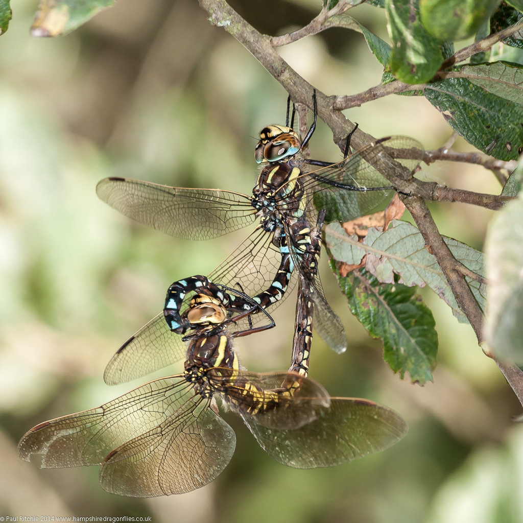 Moorland (Common) Hawkers - mating pair