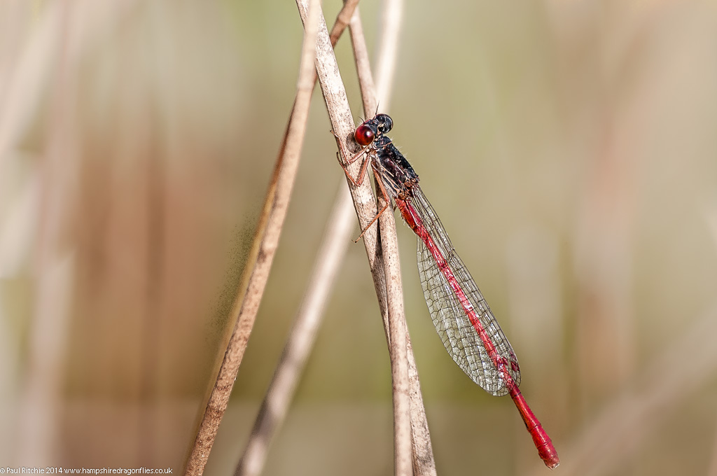 Small Red Damselfly - male