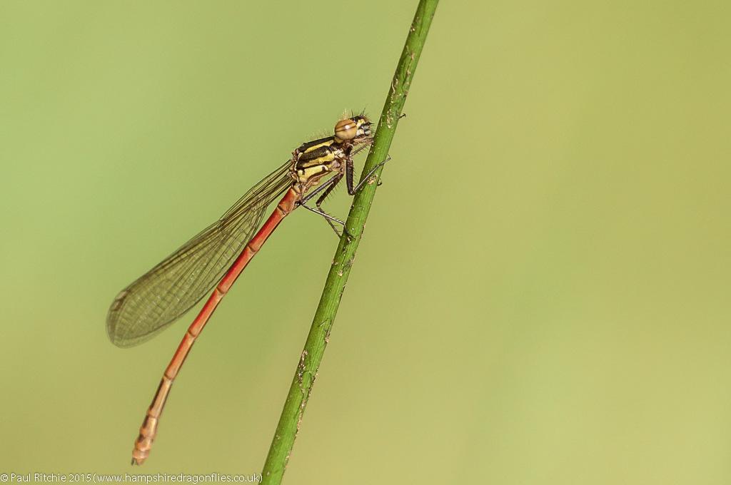 Large Red Damselfly (Pyrrhosoma nymphula) - teneral male