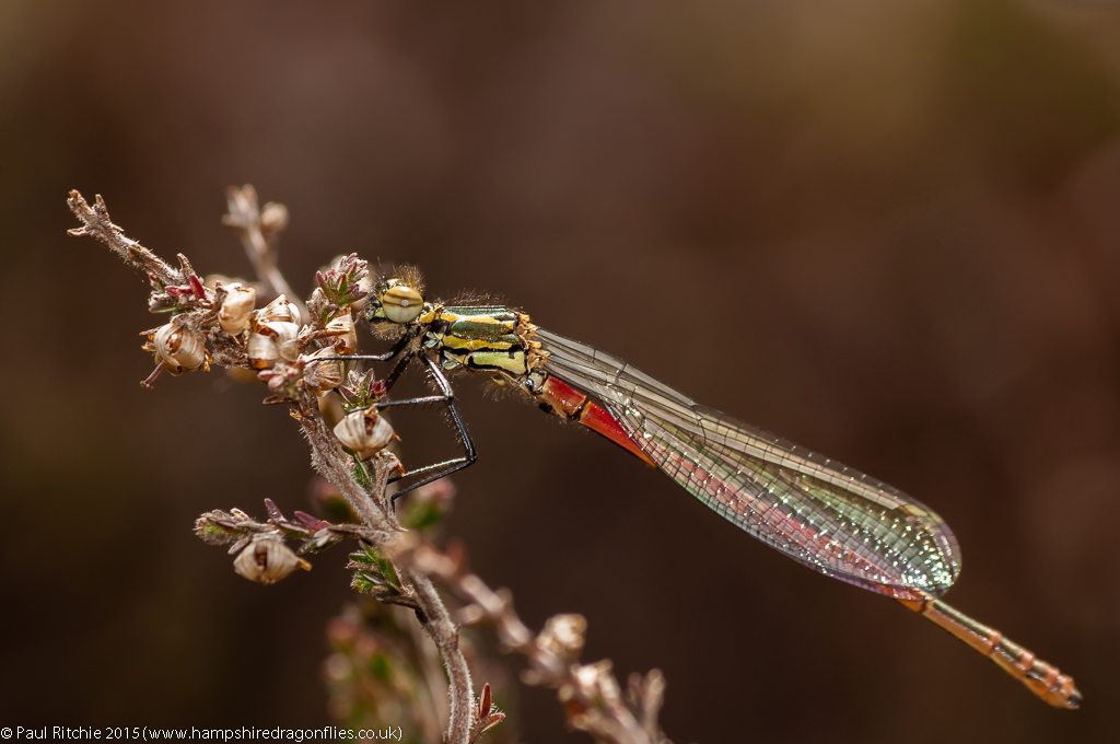 Large Red Damselfly (Pyrrhosoma nymphula) – teneral male
