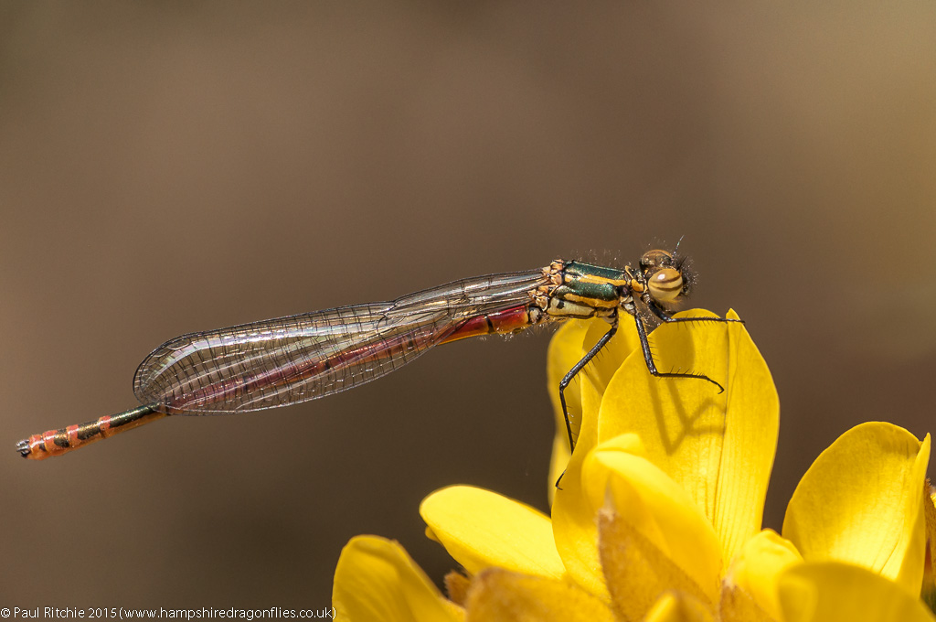 Large Red Damselfly - immature male