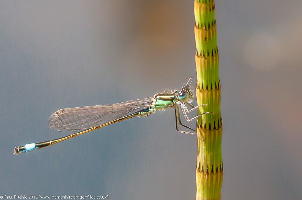 Blue-tailed Damselfly - Immature male