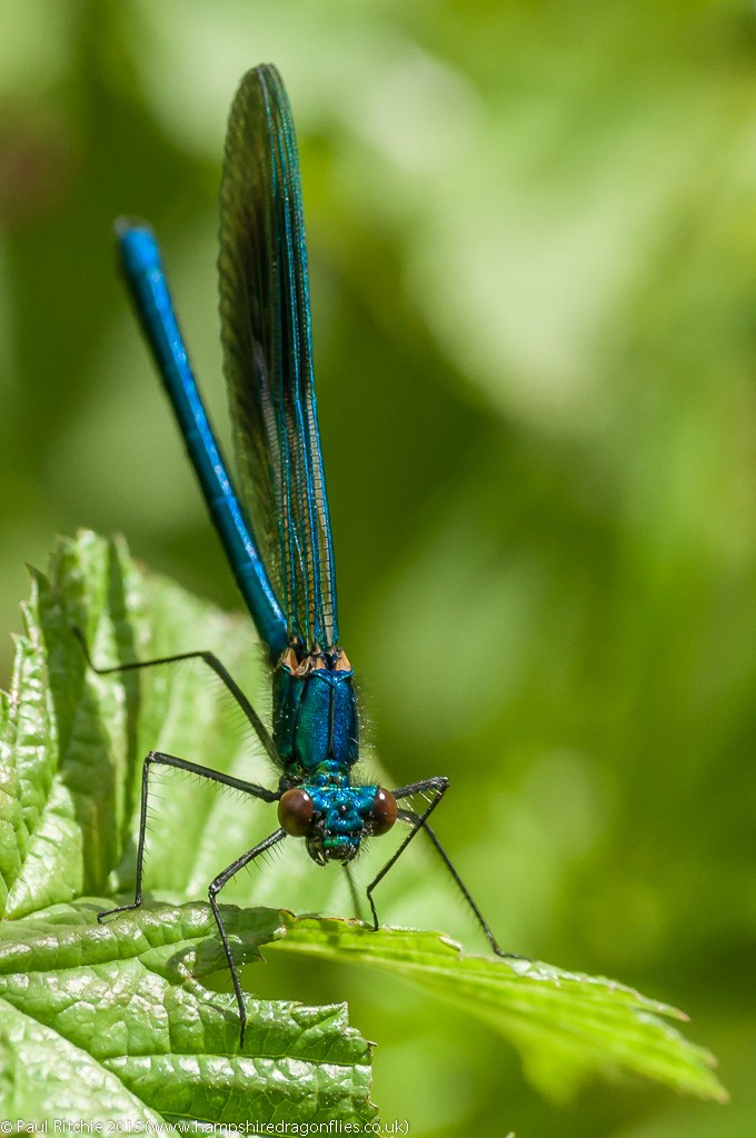 Bandede Demoiselle - immature male