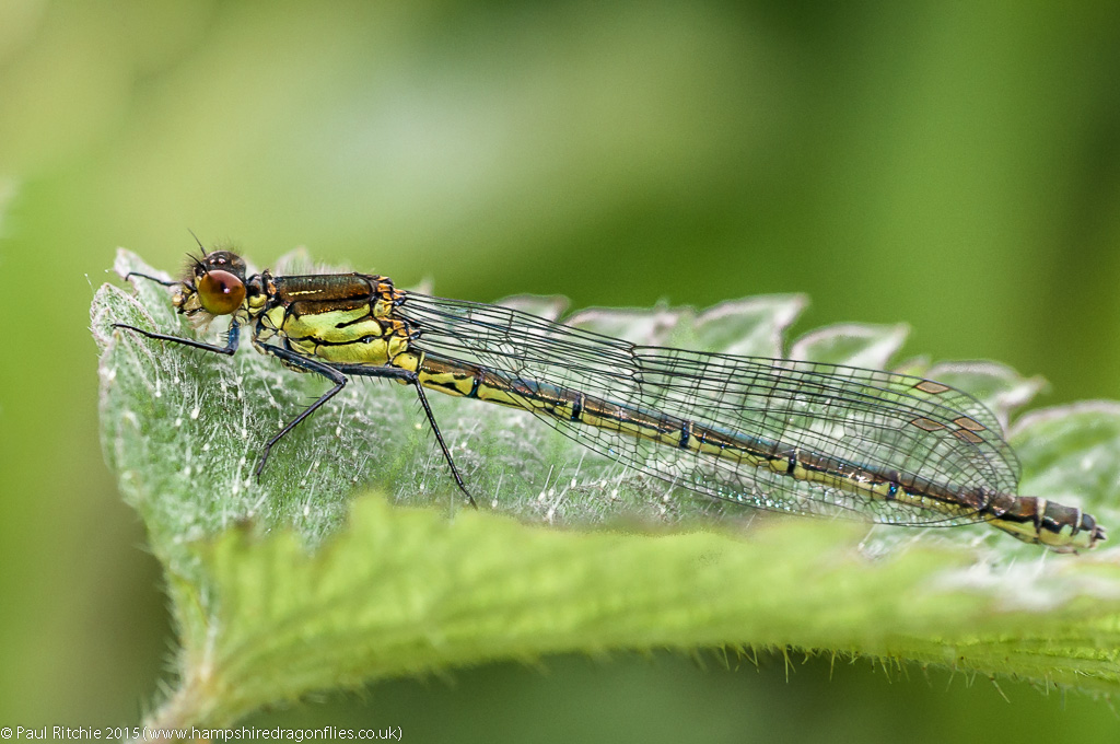 Red-eyed Damselfly - immature female