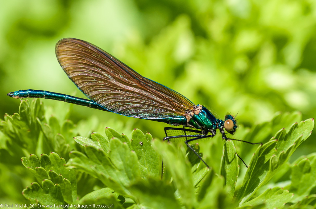 Beautiful Demoiselle - immature male
