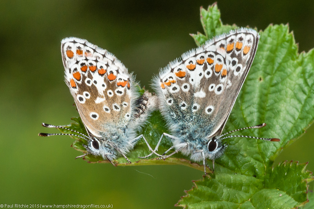 Brown Argus - mating pair