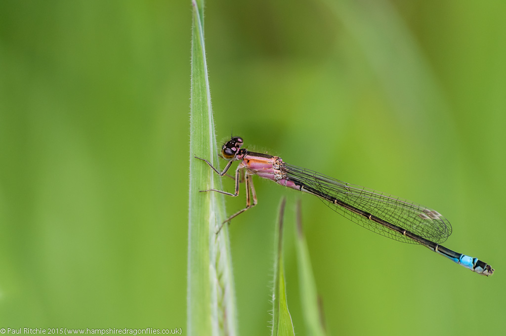 Blue-tailed Damselfly - immature female (rufescens)