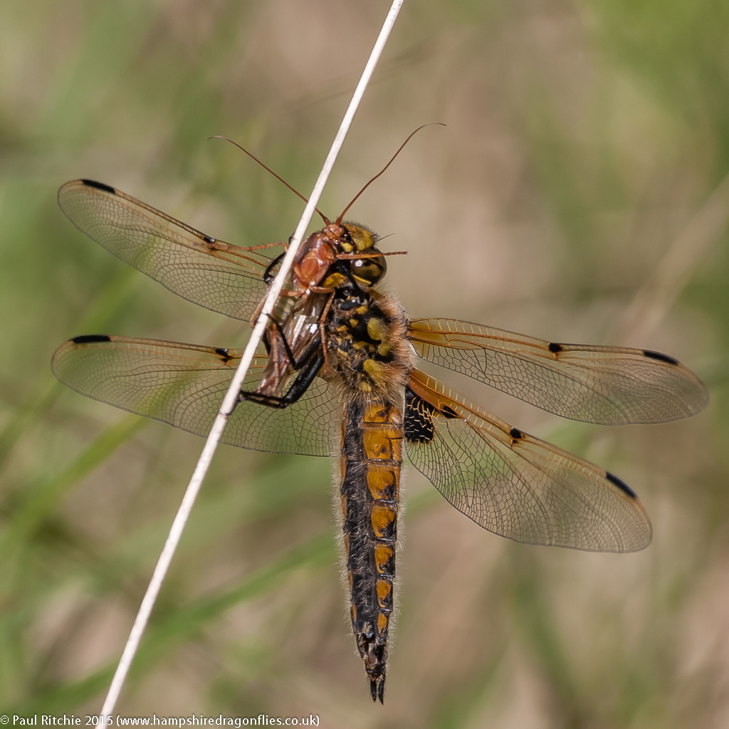 Four-spotted Chaser - female feeding