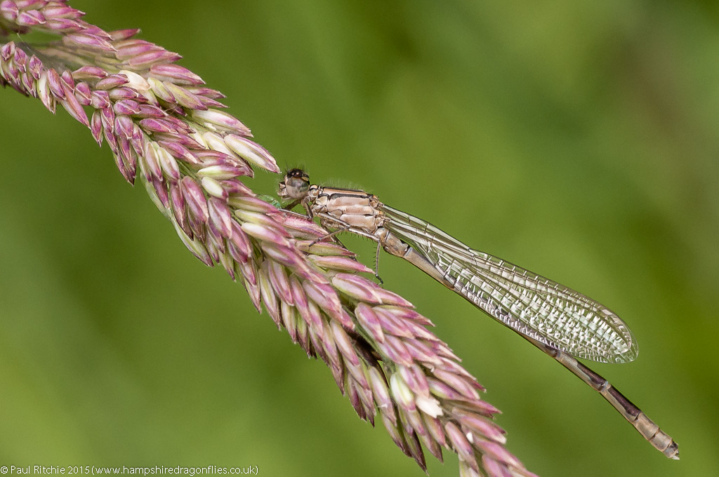 Common Blue Damselfly - teneral male