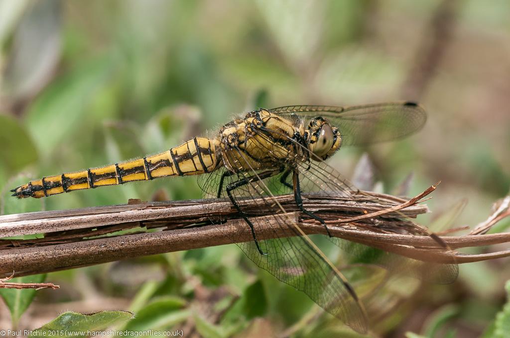 Black-tailed Skimmer - immature female
