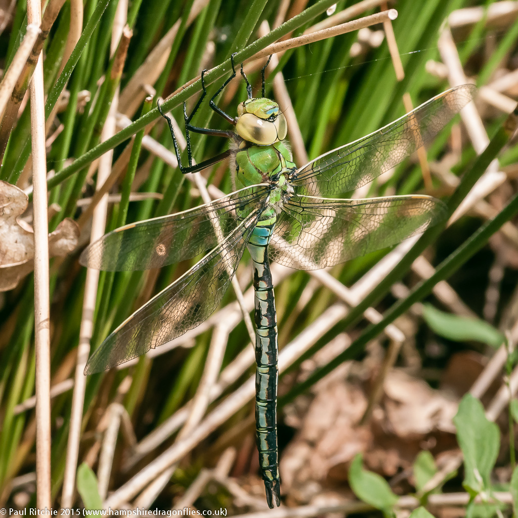 Emperor - immature male